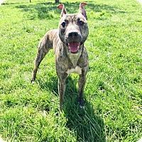 Adopt A Pet :: Trixie - Xenia, OH