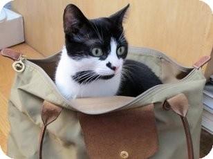Domestic Shorthair Cat for adoption in Kensington, Maryland - Condi