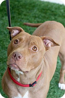 American Pit Bull Terrier Dog for adoption in Mission Viejo, California - Ruby