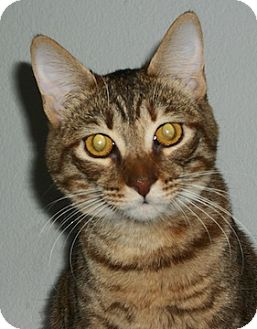 Domestic Shorthair Cat for adoption in North Highlands, California - Hula