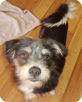 Terrier (Unknown Type, Small)/Manchester Terrier Mix Dog for adoption in Hollywood, Florida - Fritz