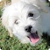 Adopt A Pet :: Atticus - non shed - Phoenix, AZ