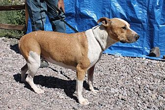 American Staffordshire Terrier Dog for adoption in Golden Valley, Arizona - Colorado