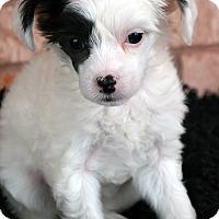 Adopt A Pet :: Haymitch-Adoption pending - Bridgeton, MO