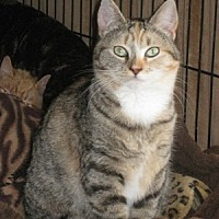Domestic Shorthair Cat for adoption in Bloomsburg, Pennsylvania - Audrey