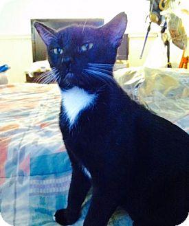 Domestic Shorthair Cat for adoption in Tustin, California - Sara
