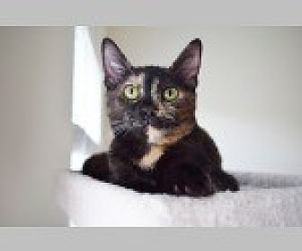 Domestic Shorthair Cat for adoption in Pittsboro, North Carolina - Lillie