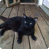 Domestic Longhair Cat for adoption in Ringgold, Georgia - Harley