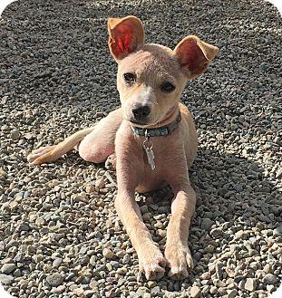 Italian Greyhound/Chihuahua Mix Puppy for adoption in Pleasanton, California - Tessa - adoption pending