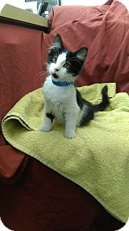 Domestic Mediumhair Kitten for adoption in University Park, Illinois - Martha
