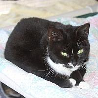 Domestic Shorthair Cat for adoption in New Bern, North Carolina - Marnie