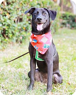 Labrador Retriever Mix Puppy for adoption in San Mateo, California - Angelie
