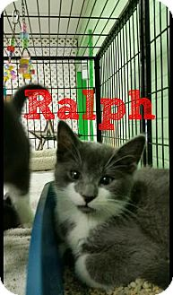 Domestic Shorthair Kitten for adoption in Bloomingdale, New Jersey - Ralph