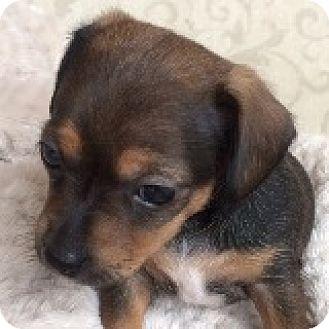 Dachshund Mix Puppy for adoption in Houston, Texas - Darcy Dabinett
