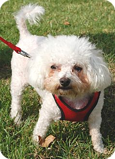 Bichon Frise Dog for adoption in West Los Angeles, California - Mopsy