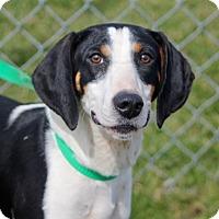 Adopt A Pet :: Tulip - Liberty Center, OH