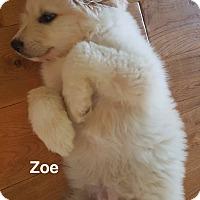 Adopt A Pet :: Zoe - Hopkinton, MA