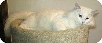 Domestic Mediumhair Cat for adoption in Powell, Ohio - Winter