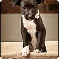 Adopt A Pet :: Midnight - Owensboro, KY
