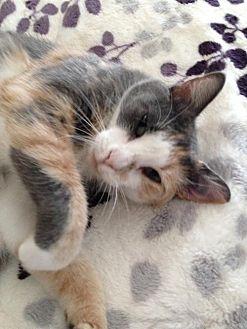 Calico Cat for adoption in Austin, Texas - Vera