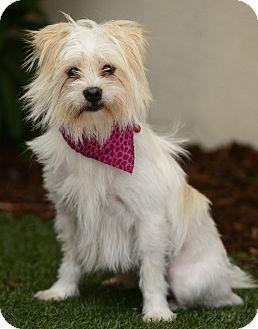 Maltese/Terrier (Unknown Type, Medium) Mix Dog for adoption in Rancho Palos Verdes, California - PALOMA