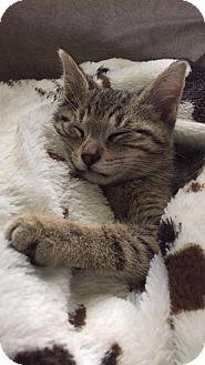 Domestic Shorthair Kitten for adoption in Wyoming, Michigan - Thor
