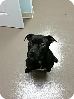 Bulldog/Terrier (Unknown Type, Medium) Mix Dog for adoption in Jacksonville Beach, Florida - Ozzy