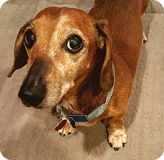 Dachshund Dog for adoption in Andalusia, Pennsylvania - Oswald