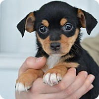 Adopt A Pet :: Bluebell - Danbury, CT