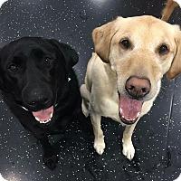 Adopt A Pet :: Bruno (Foster Needed) - Rochester Hills, MI