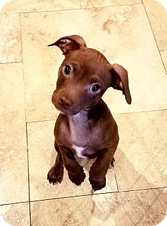 Parson Russell Terrier/Chihuahua Mix Puppy for adoption in Encino, California - Charlie Brown
