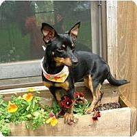 Adopt A Pet :: ZuZu - Glastonbury, CT