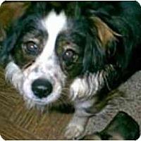 Adopt A Pet :: Christopher - dewey, AZ