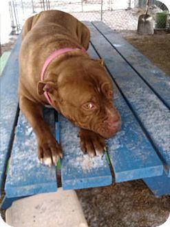 Dogue de Bordeaux Mix Dog for adoption in East Smithfield, Pennsylvania - Reggie