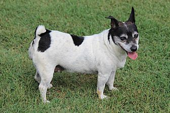 Jack Russell Terrier Dog for adoption in Greenville, South Carolina - Sadie