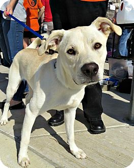 Labrador Retriever Mix Dog for adoption in McKinney, Texas - Kevin