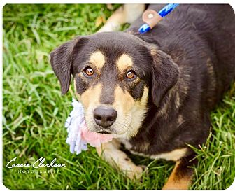 Labrador Retriever Mix Dog for adoption in Zanesville, Ohio - Mandy - ADOPTED!