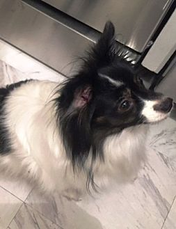 Papillon Dog for adoption in Marietta, Georgia - Maddy (age 8) in GA