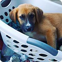Adopt A Pet :: Fenris - Huntsville, AL