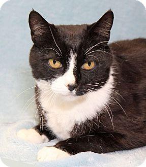 Domestic Shorthair Cat for adoption in Encinitas, California - Tollhouse