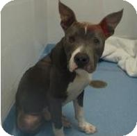 American Pit Bull Terrier Mix Dog for adoption in Gainesville, Florida - Jett