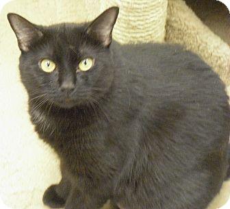 Domestic Shorthair Cat for adoption in Wickenburg, Arizona - Samoa
