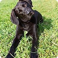 Adopt A Pet :: Coal - Knoxville, TN