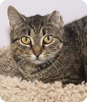 Domestic Shorthair Cat for adoption in Elmwood Park, New Jersey - Kristy