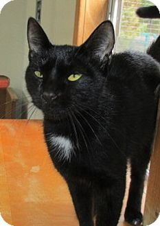 Domestic Shorthair Cat for adoption in Aiken, South Carolina - LUCY