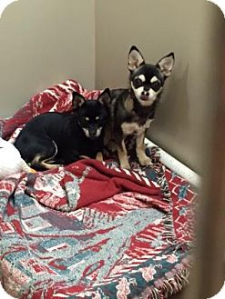 Chihuahua Mix Dog for adoption in Plymouth Meeting, Pennsylvania - Coqui