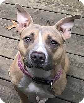American Staffordshire Terrier Mix Dog for adoption in Grand Rapids, Michigan - Bella