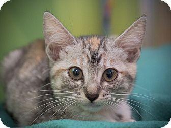Domestic Shorthair Kitten for adoption in Los Angeles, California - Chelsea
