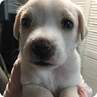 Adopt A Pet :: Tara Pup 1 left! - Pompton Lakes, NJ