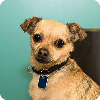 Chihuahua Mix Dog for adoption in Houston, Texas - Princess